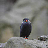 Portrait of ringed Inca Tern birds on rocks in natural habitat environment - 173495451