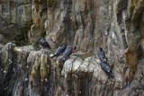 Portrait of ringed Inca Tern birds on rocks in natural habitat environment - 173496002