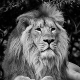 Beautiful portrait of Asiatic Lion Panthera Leo Persica in black and white - 173496679