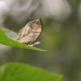Beautiful image of Dead Leaf Butterfly Kallima Inachus on green leaf - 173497088