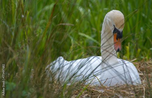 Fotobehang Zwaan Brooding swan