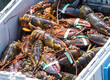 Lots of freshly caught lobster sorted into a bin in a fishing boat