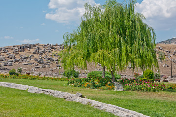 Weeping willow tree in the public park, ruins of antique town Hierapolis , Turkey on sunny summer day