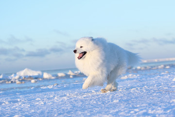 White dog samoyed running through the snow