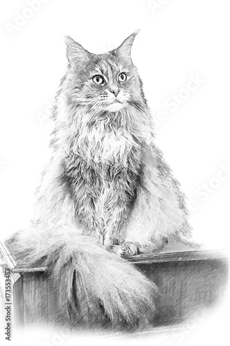 Cat Maine Coon. Illustration in draw, sketch style