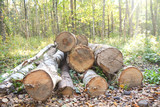 Birch firewood in the forest
