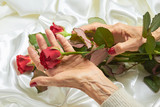 Red rose in senior woman hands. Old woman hands with red manicure holding beautiful red rose on white silk background. - 173571208