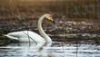 Quadro White Swooper Swan