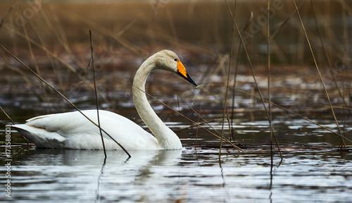 Fotobehang Zwaan White Swooper Swan