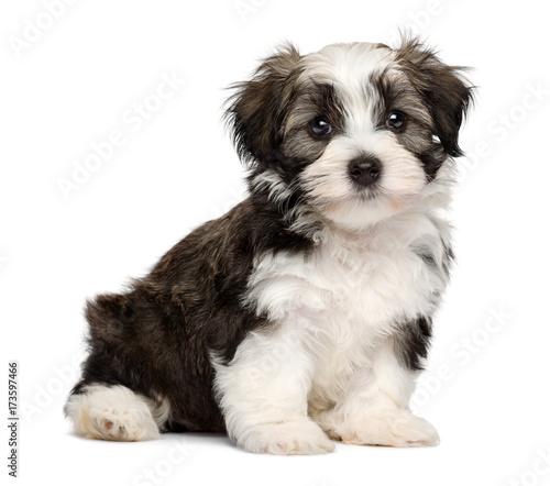 Cute sitting silver sable havanese puppy dog