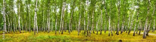 Fototapeta Birch grove on a sunny summer day, landscape banner, huge panorama