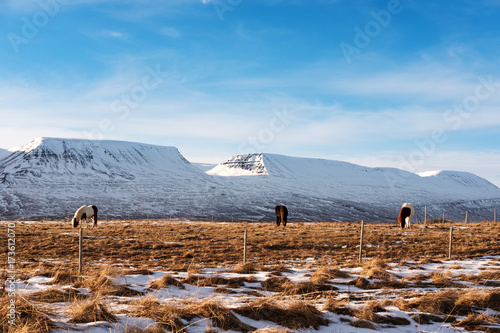 Foto op Aluminium Blauw Countryside landscape, farmland in winter with horses and snow mountain in the morning
