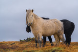 Cute Icelandic horses. The Icelandic horse is a breed of horse developed in Iceland.