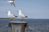 Seagulls sitting on a post with a third one about to land. - 173622067