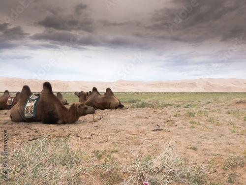 Fotobehang Kameel Landscape with camel in Mongolia desert of Gobi