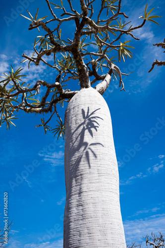 Deurstickers Baobab baobab Madagascar