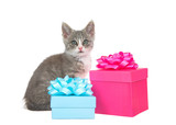Adorable gray and white tabby kitten sitting next to bright pink and aqua blue present boxes with bows looking directly at viewer. Isolated on white background