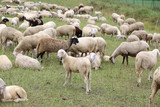 flock with so many white sheep and lambs grazing