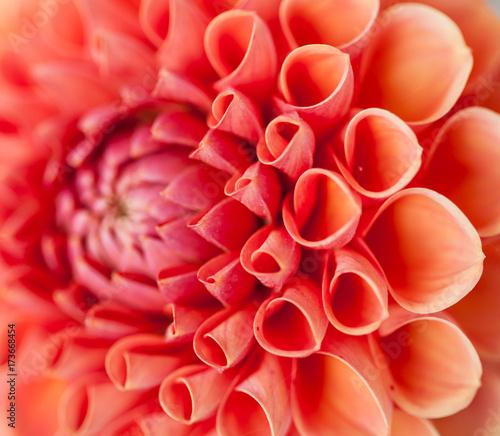 Pink dahlia flower close-up