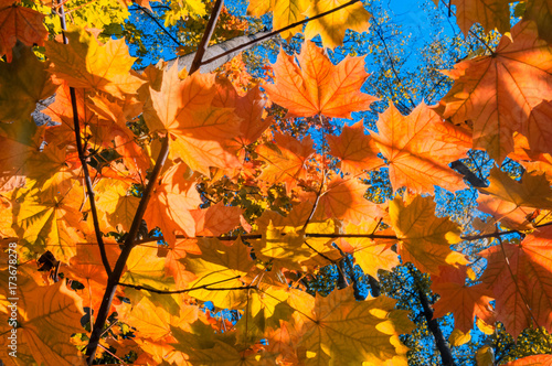 Staande foto Oranje eclat Bright autumn landscape. Autumn tree leaves the blue sky background.