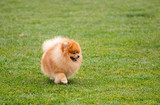 spitz dog running in the meadow