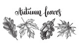 Ink hand drawn set of maple and oak leaves. Botanical elements collection for design with brush calligraphy style lettering. Vector illustration. - 173709228