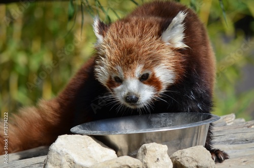 Fotobehang Panda Animal
