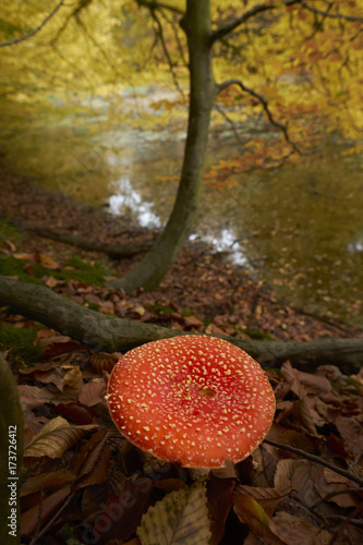 Foto op Canvas Brussel Autumn in the forest of Soignes near Brussels in Belgium