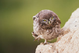 A young little owl stands near his hole and looking at the camera - 173730606