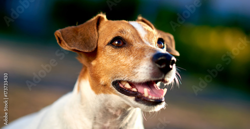 Jack Russell Terrier outdoors Poster
