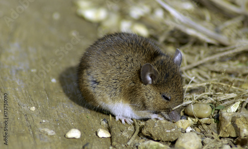 Wild vote / field mouse