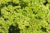 Fresh green parsley. Organic food. Garden - 173773410