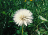 dandelion - 173783438