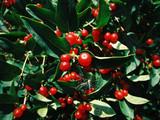 tree with small red berries - 173783493
