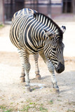 Close-up of zebra standing in the zoo barn - 173789284