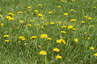 Weeds in Lawn - 173795863