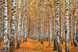 Autumn birch forest - 173798430