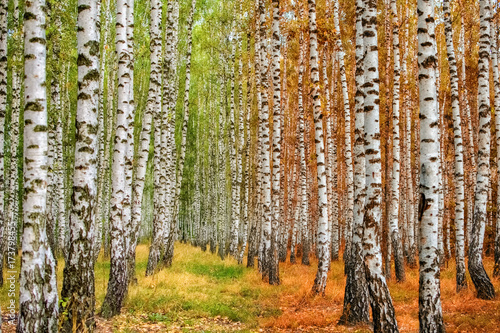 Fotobehang Berkenbos Autumn birch forest moves from summer to autumn