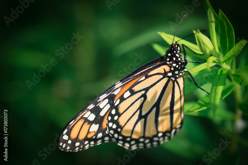 Plakat Monarch Butterfly