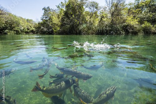 Keuken foto achterwand Olijf Big fishes in cristal clear water river