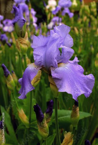 Fotobehang Iris blue iris flower in the rain drops in the garden
