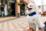 White pomeranian dog at outdoor