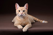 Young red cat on a brown background