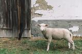 Cute lamb at country ranch - 173898820