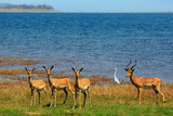 Herd of Impala standing on the shoreline of lake Kariba with a cattle egret in the background - 173898848