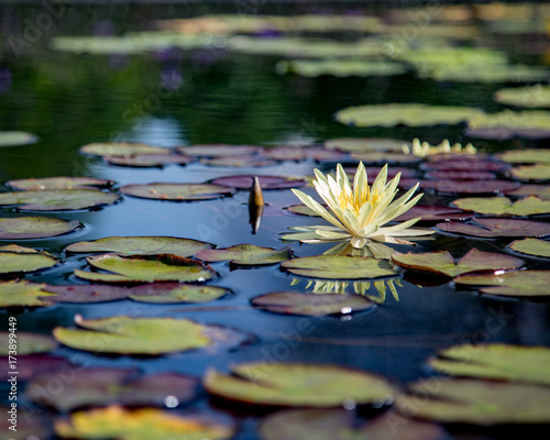 Poster Water planten lotus flower pink nature blossom water background beautiful