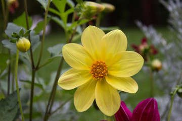 Close up of beautiful yellow dahlia flower on  natural background.