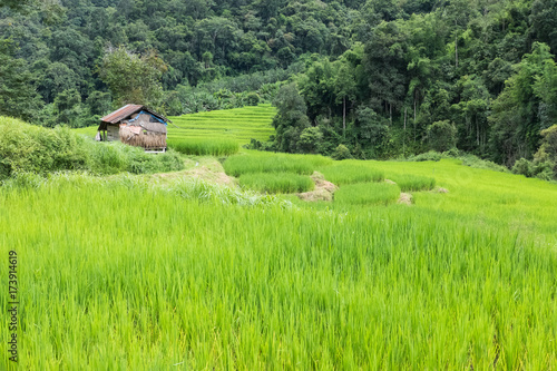 Fotobehang Rijstvelden Rice field on terrace in Chiangmai, Thailand. natural landscape of rice farm. cultivation, agriculture
