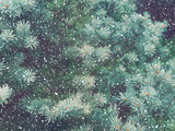 Snow fall in winter forest. Christmas new year magic. Blue spruce fir tree branches detail.