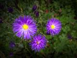 Violet flowers closeup - 173931063